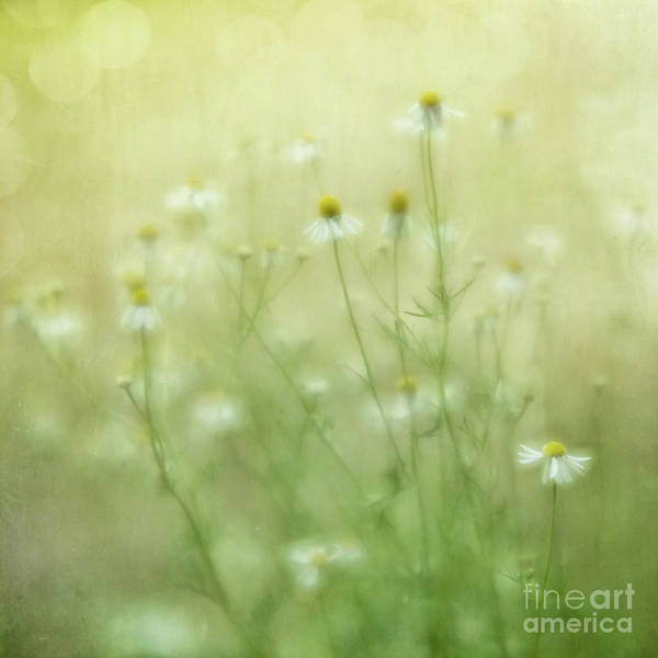Wall Art - Photograph - Camomille Summer Whispers by Priska Wettstein