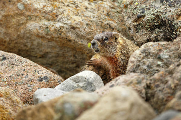 Marmot Photograph - Camouflaged by Ann Skelton