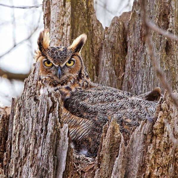 Hoot Wall Art - Photograph - Camouflaged Owl by Donna Caplinger