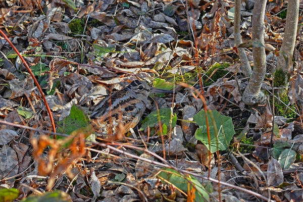 Woodcock Photograph - Camouflaged Plumage With Fallen Leaves by Asbed Iskedjian