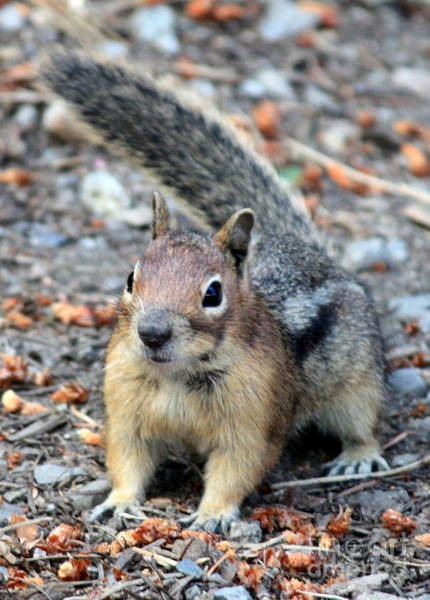 Photograph - Campground Chipmunk by Carol Groenen