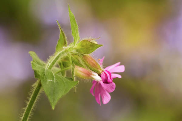 Photograph - Campion And Blue by Wendy Cooper
