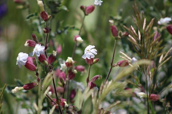 Photograph - Campion Wild Flowers by Colleen Cornelius