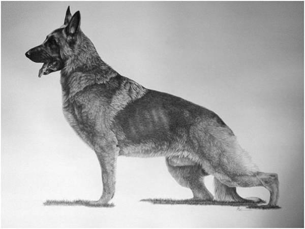 German Shepherd Drawing - Can. Ch. Aftica Ken-delaine's Ammuniton by Suzanne Reh-Faraca