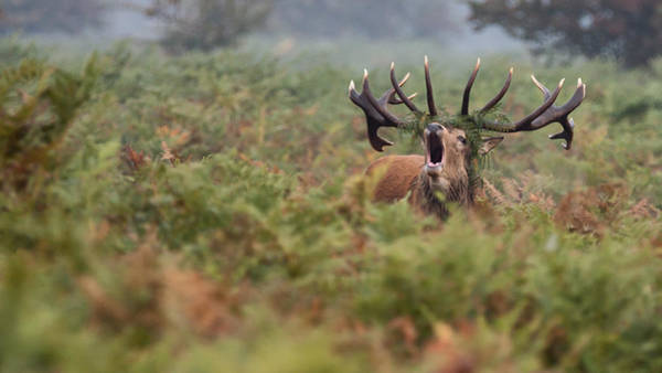 Red Deer Photograph - Can You Hear Me by Nigel Jones