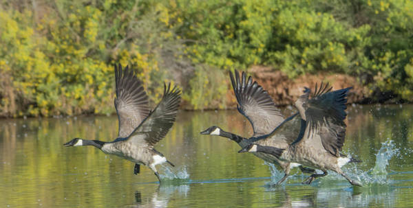 Photograph - Canada Geese 5666-092217-1cr by Tam Ryan