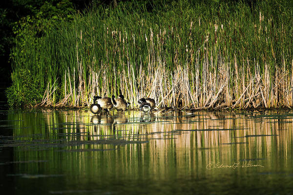 Photograph - Canada Geese And Wood Ducks by Edward Peterson
