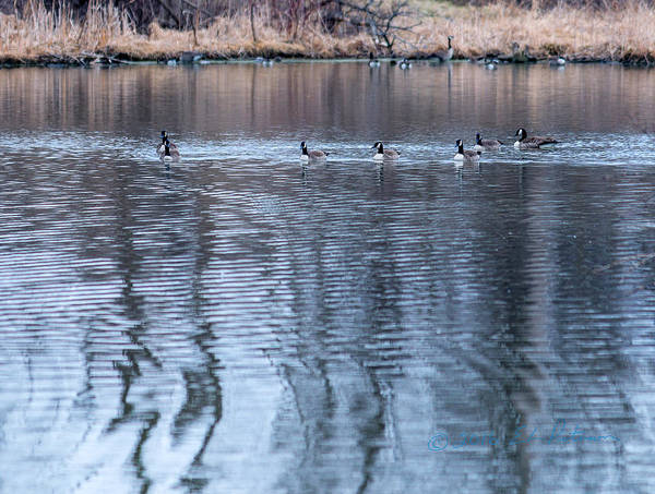 Photograph - Canada Geese Back Home by Edward Peterson