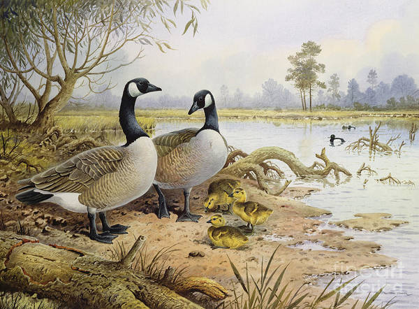 Water Fowl Painting - Canada Geese by Carl Donner