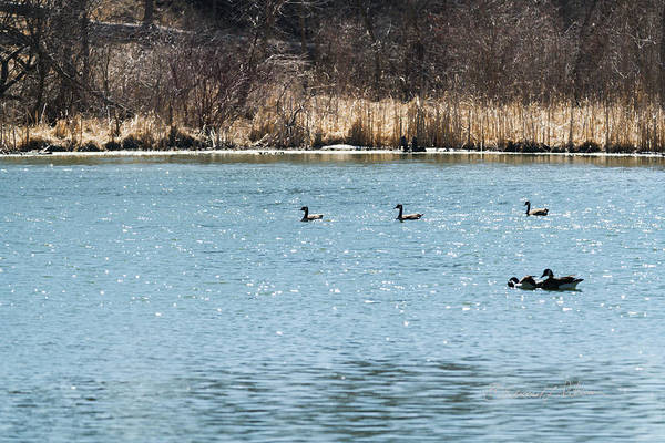 Photograph - Canada Geese Conga Line by Edward Peterson