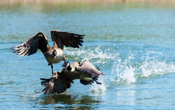 Photograph - Canada Geese Dispute by Edward Peterson