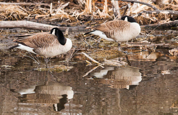 Photograph - Canada Geese  by Edward Peterson