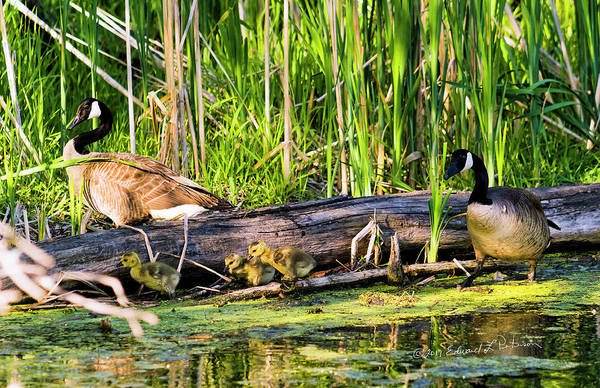 Photograph - Canada Geese Family by Edward Peterson