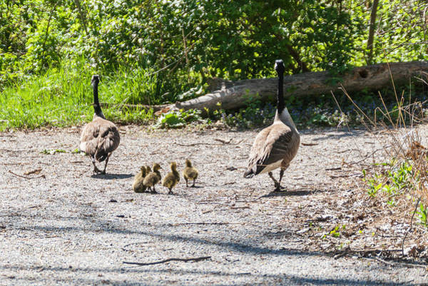 Photograph - Canada Geese Family Walk by Edward Peterson