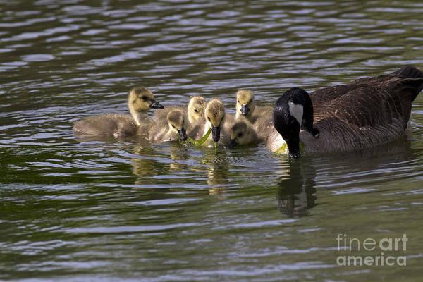 Goslings Wall Art - Photograph - Canada Geese Feeding by Kenneth M. Highfill