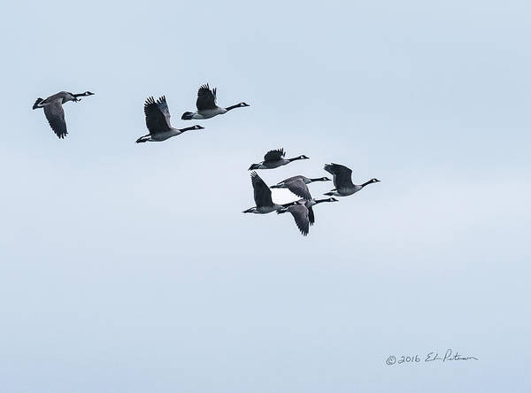 Photograph - Canada Geese Flight by Edward Peterson