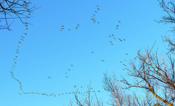 Photograph - Canada Geese Flight Path by Edward Peterson