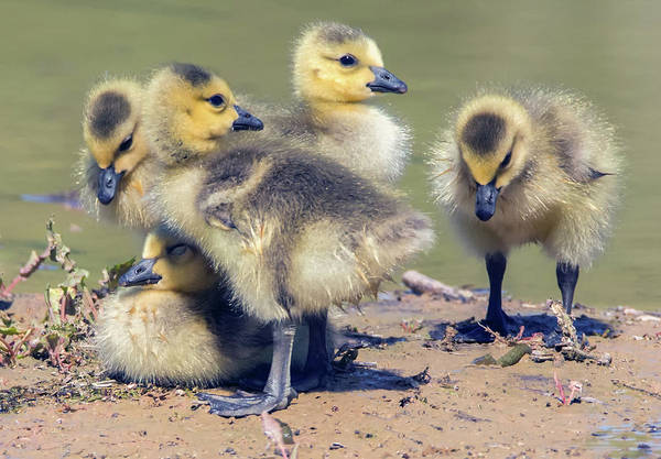 Ryan Gosling Photograph - Canada Geese Goslings 4935-040518-1cr by Tam Ryan