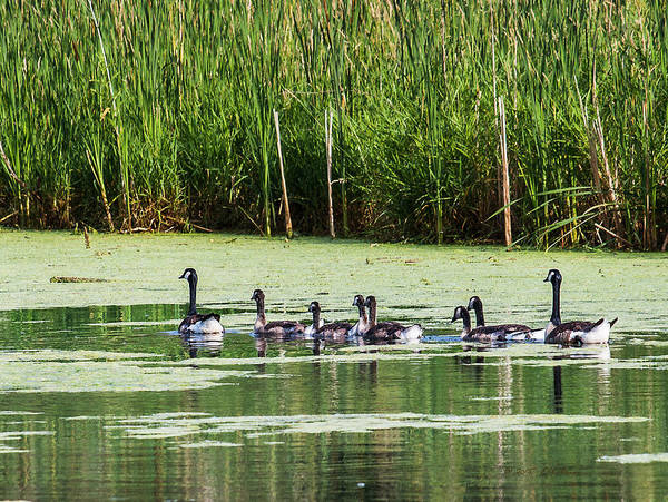 Photograph - Canada Geese Growing by Edward Peterson