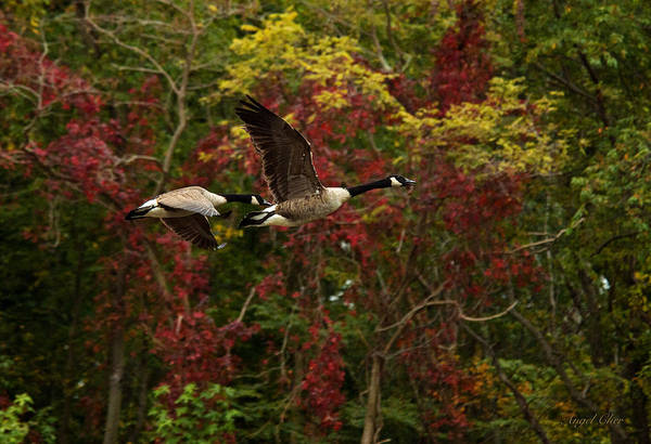 Photograph - Canada Geese In Autumn by Angel Cher
