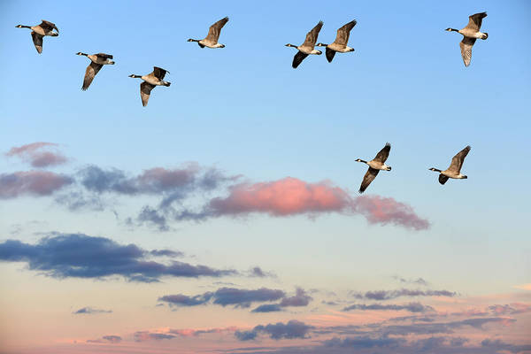 Photograph - Canada Geese Migration by Patrick Wolf