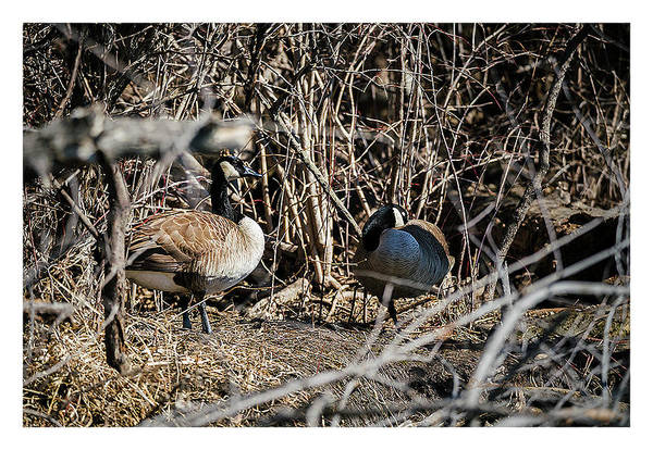 Photograph - Canada Geese Nesting by Edward Peterson
