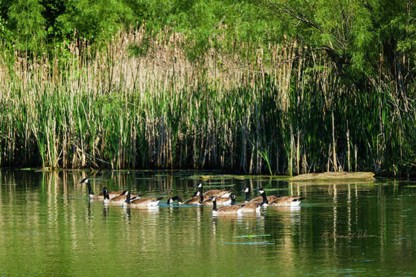 Photograph - Canada Geese Summer by Edward Peterson
