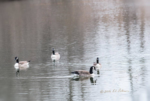 Photograph - Canada Geese Swing by Edward Peterson