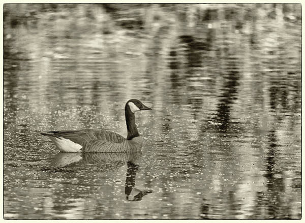 Photograph - Canada Goose 1424-011618-4cr by Tam Ryan