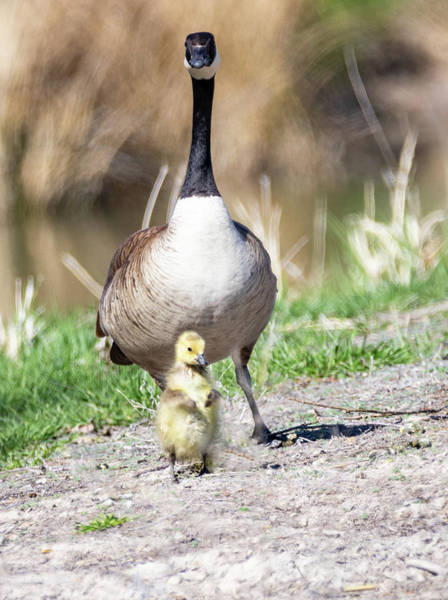 Photograph - Canada Goose And Gosling by Michael Chatt
