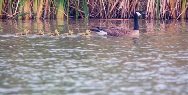 Ryan Gosling Photograph - Canada Goose And Goslings 4823-040518-1cr by Tam Ryan