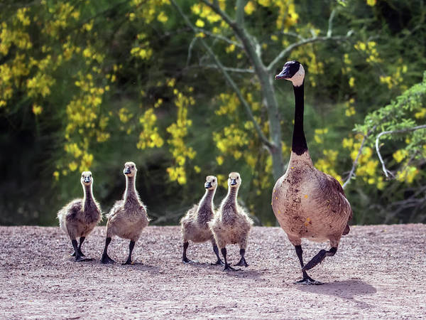 Ryan Gosling Photograph - Canada Goose And Goslings 7581-042618-1 by Tam Ryan