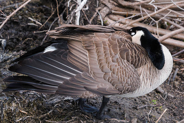 Photograph - Canada Goose Asleep by Edward Peterson