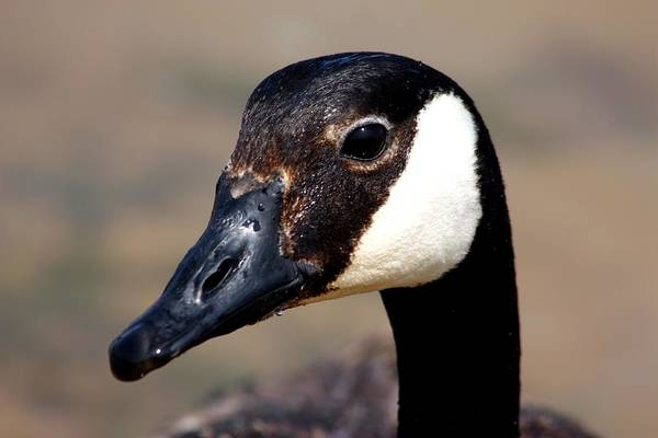 Photograph - Canada Goose Portrait by Sheila Brown
