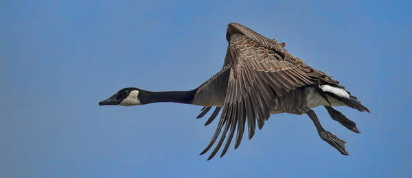 Photograph - Canada Goose Coming In For A Landing by Dale Kauzlaric