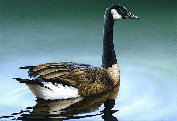 Painting - Canada Goose II by Anthony J Padgett