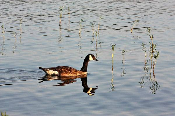 Photograph - Canada Goose In Morning Light by Sheila Brown