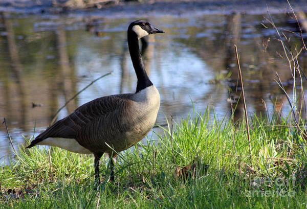 Photograph - Canada Goose In Wetlands by Karen Adams