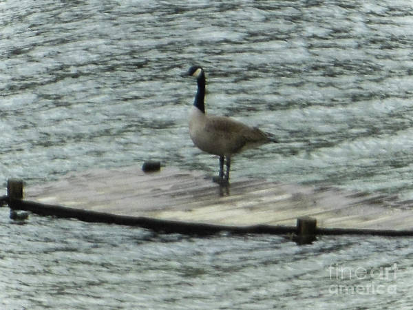 Photograph - Canada Goose Lake Dock by Rockin Docks Deluxephotos