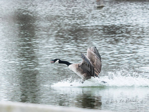Photograph - Canada Goose Landing 2 by Edward Peterson
