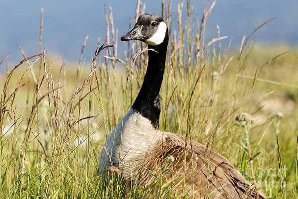 Photograph - Canada Goose Landscape by Sue Harper
