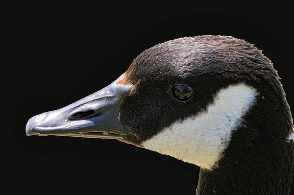 Photograph - Canada Goose by Lawrence Christopher