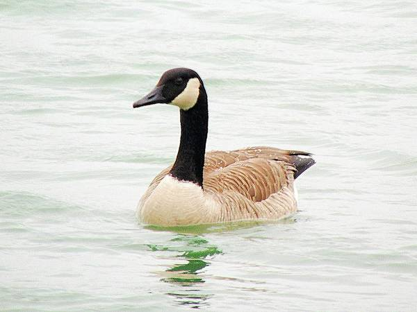 Photograph - Canada Goose by Loretta Nash