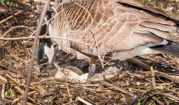 Photograph - Canada Goose Maternity Ward by Edward Peterson