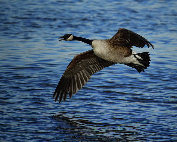 Photograph - Canada Goose Over Blue Water by Dale Kauzlaric