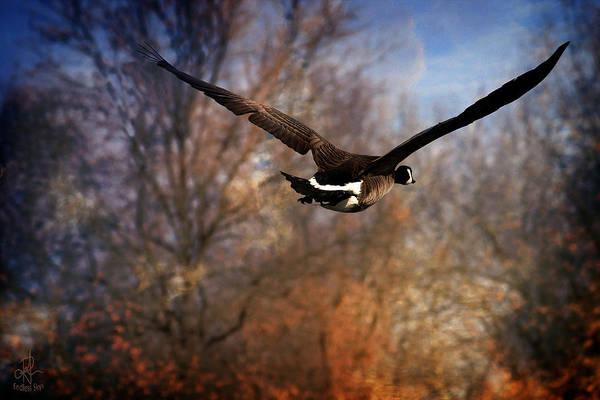 Photograph - Canada Goose by Pennie McCracken