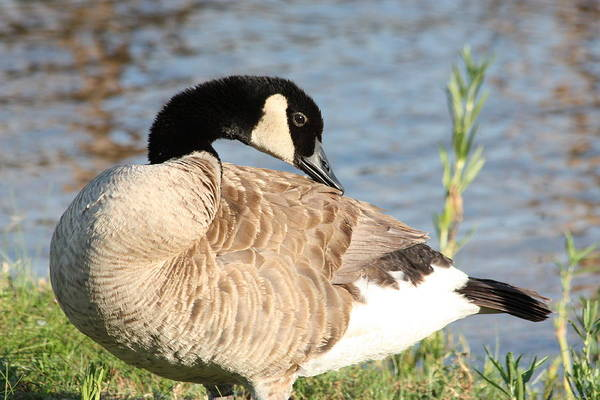 Photograph - Canada Goose Posing by Sheila Brown