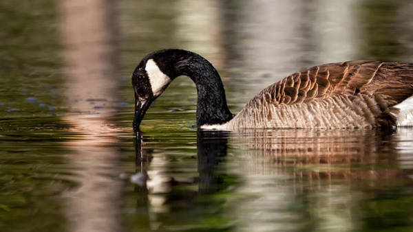 Photograph - Canada Goose Reflections by Bill Wakeley
