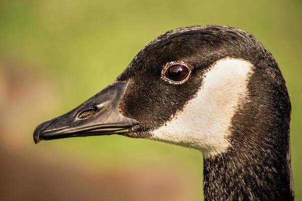 Photograph - Canada Goose-rio by Don Johnson