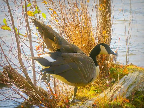 Digital Art - Canada Goose Standing One Foot by Rusty R Smith